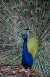 Un paon dans sa fierté Photo libre de droits