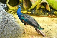 Un paon est rep?r? dans cette ferme d'animaux dans Kuching, Sarawak photo libre de droits