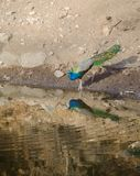 Un paon, l'oiseau national de l'eau potable d'Inde d'un lac Photos libres de droits