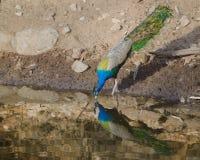 Un paon, l'oiseau national de l'eau potable d'Inde d'un lac Photos stock