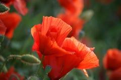 Un papavero di due colori rossi Fotografia Stock Libera da Diritti