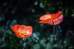 Un papavero di due colori rossi Fotografia Stock