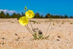 Un papavero giallo di due fiori su un fondo Fotografie Stock