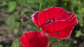 Un papavero rosso luminoso, attira le api Colore attraente, luminoso, rosso video d archivio
