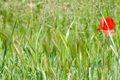 Un papavero rosso sul campo con lo spica verde del grano Fotografia Stock Libera da Diritti