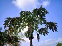 Un papayer images libres de droits