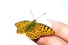Un papillon apprivoisé sur le doigt femelle Photographie stock libre de droits