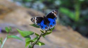 Un papillon assez bleu de plan rapproché Photo libre de droits