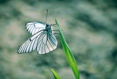 Un papillon blanc seul qui se repose sur l'herbe verte photographie stock