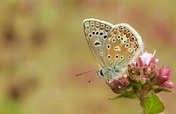 Un papillon bleu commun masculin Polyommatus Icare était perché sur une fleur Photographie stock libre de droits