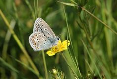 Un papillon bleu commun Polyommatus Icare de mâle renversant nectaring sur une fleur jaune Photos stock
