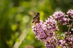 Un papillon boit du nectar Image stock