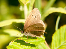 Un papillon brun de boucle se reposant sur une feuille avec ses ailes s'ouvrent photographie stock libre de droits