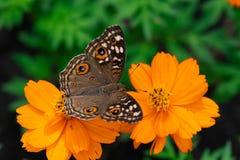 Un papillon commun de maronnier américain Photo libre de droits