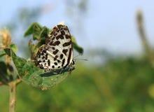 Un papillon commun de pierrot image stock