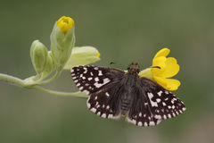 Un papillon de capitaine et un x28 grisonnants rares ; Malvae& x29 de Pyrgus ; sur un Cowslip& x28 ; Veris& x29 de primevère ; Images libres de droits