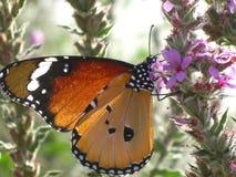 Un papillon de cardui de Vanessa sur une fleur de ressort image stock