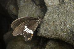 Un papillon de facteur Images stock
