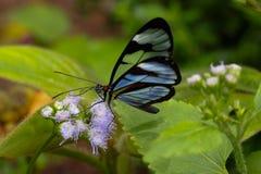 Un papillon de Glasswinged charge un jardin de Costa Rican images libres de droits
