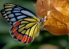 Un papillon de Jézabel été perché sur la fleur jaune Image stock