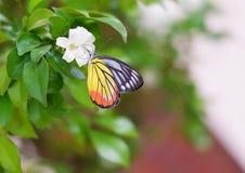 Un papillon de Jézabel au-dessus d'une fleur blanche photo stock