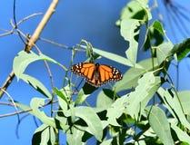 Un papillon de monarque de prêt Images stock