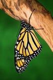 Un papillon de monarque sur le bois de construction Image stock