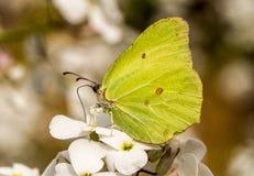 Un papillon de soufre sur des hespiris Images stock
