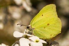 Un papillon de soufre sur des hespiris Images libres de droits
