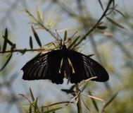 Un papillon mormon photos libres de droits