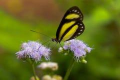 Un papillon réuni de Tigerwing écarte les jambes des fleurs pour alimenter images stock