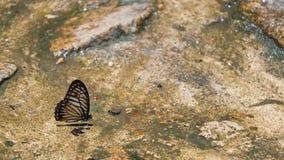 Un papillon recueillant l'eau sur le plancher Photos libres de droits