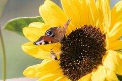 Un papillon se repose sur une fleur d'un tournesol et rassemble le nectar Image libre de droits
