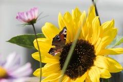 Un papillon se repose sur une fleur d'un tournesol et rassemble le nectar Photographie stock libre de droits
