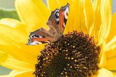 Un papillon se repose sur une fleur d'un tournesol et rassemble le nectar Images stock