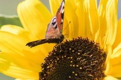 Un papillon se repose sur une fleur d'un tournesol et rassemble le nectar Images libres de droits