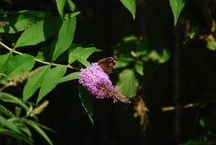 Un papillon se repose sur une fleur rose Image libre de droits