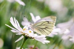Un papillon sur la fleur de marguerite blanche Images libres de droits