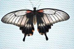 Un papillon sur le morceau d'orange, plan rapproché photos stock