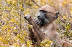 Un Papio Ursinus de babouin de cap sélectionne aux feuilles en parc national de Kruger, Afrique du Sud photo libre de droits