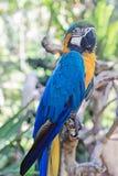 Un pappagallo con la piuma gialla e blu Fotografia Stock Libera da Diritti
