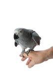 Pappagallo curioso di Grey africano Fotografia Stock