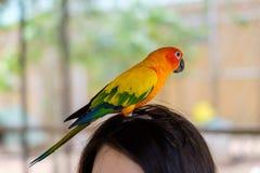 Un pappagallo del parrocchetto di Sun che sta sulla testa Immagini Stock