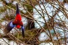 Un pappagallo di rosella in volo nel Nuovo Galles del Sud Australia di Lithgow Fotografie Stock Libere da Diritti