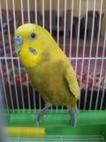 Un pappagallo giallo immagine stock