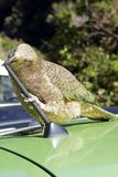 Un pappagallo impertinente della montagna fa un spuntino su un'automobile fotografia stock
