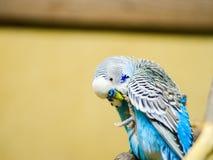 Un pappagallo ondulato si siede sul ramo di una gabbia al deposito dell'animale domestico Immagine Stock Libera da Diritti