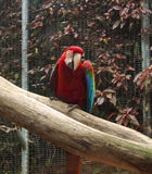 Un pappagallo rosso besutiful dell'ara Fotografia Stock Libera da Diritti