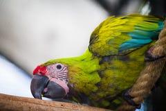 Un pappagallo sorridente nello zoo in Tenerife, Spagna Immagini Stock Libere da Diritti