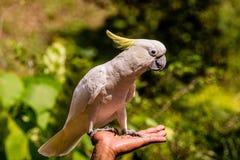 Un pappagallo sveglio (cacatua zolfo-crestata) che riposa sull'ha dell'uomo Fotografia Stock Libera da Diritti